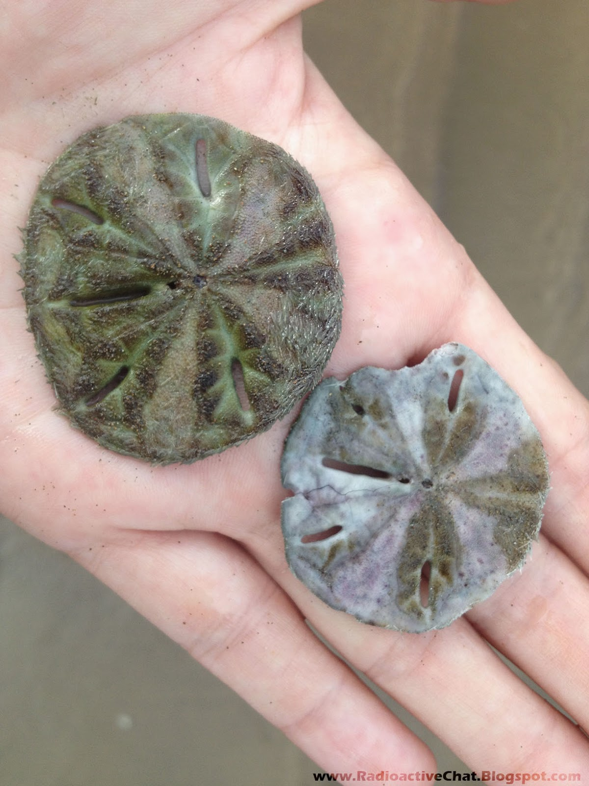 Severe Genetic Mutations Sand Dollars Costa Rica - Photo 2-1