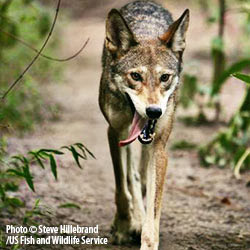 wolves, earth, ecology, DNA diversity, wolf