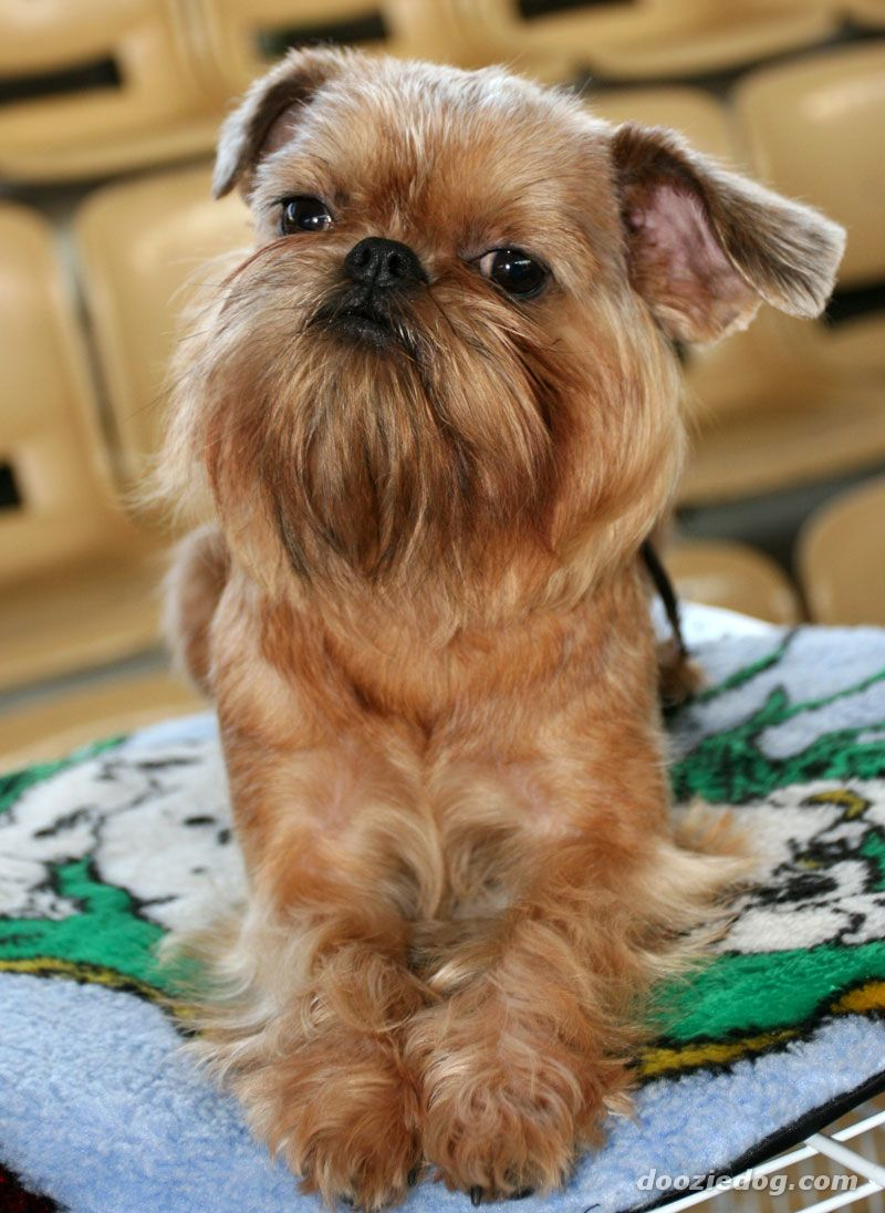 The dog in world: Brussels Griffon dogs