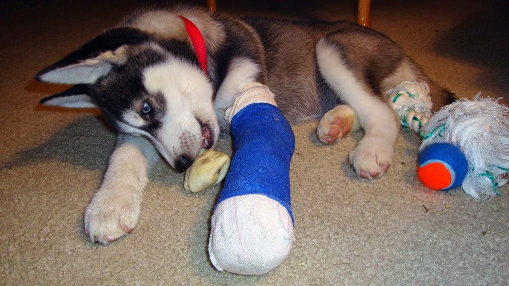 Siberian Husky Puppy With Broken Leg | I ♥ Husky ♥