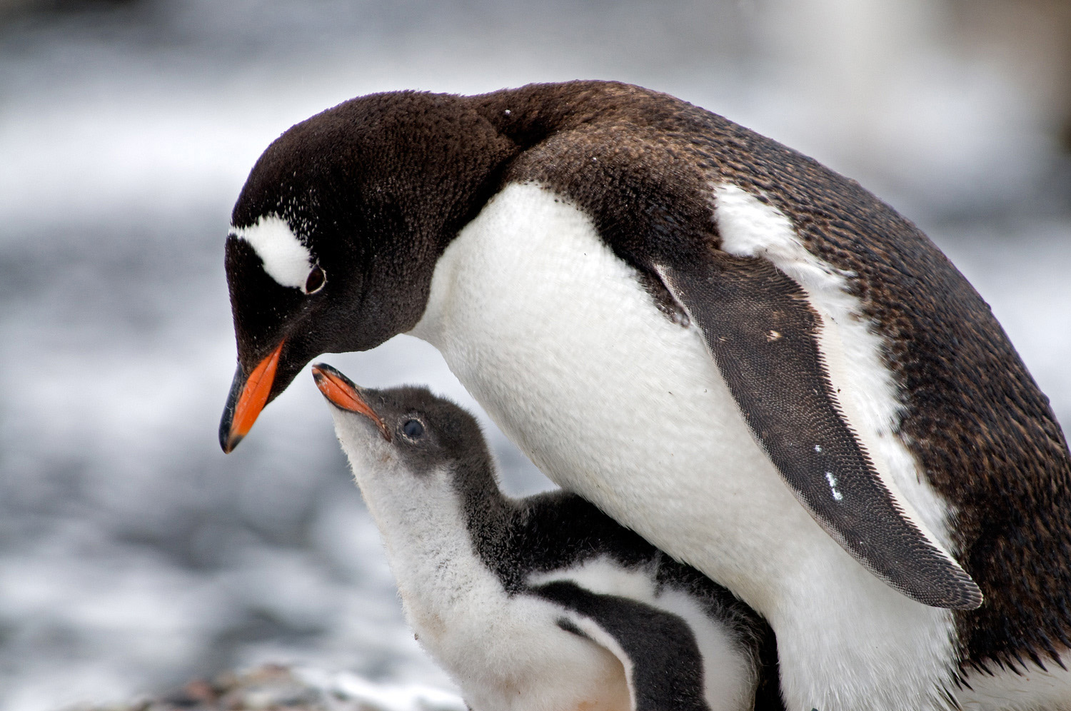 Antarctica Gentoo Penguins Wallpaper HD Wallpapers