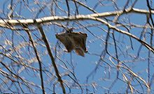 The northern flying squirrel