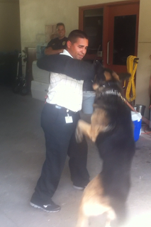 SHSU Intern Leo Correa takes a bite from Mark of the K-9 Unit