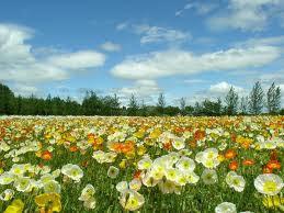 صور الازهار في فصل الربيع 2013 spring pictures of flowers