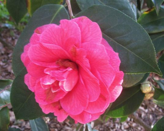 camellia reticulata, mandalay queen, huntington gardens