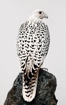 halcón gerifalte posado
