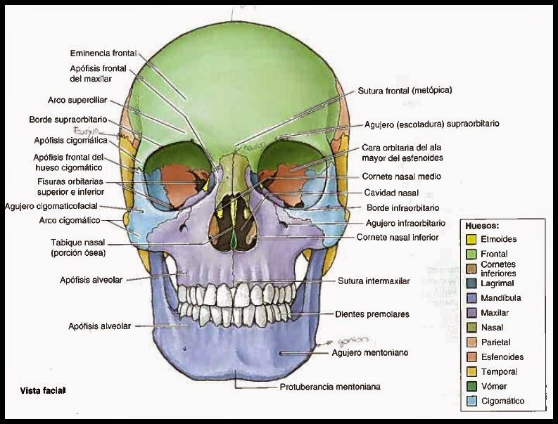 Excelente Anatomía Hueso Del Cráneo Elaboración - Anatomía de Las ...