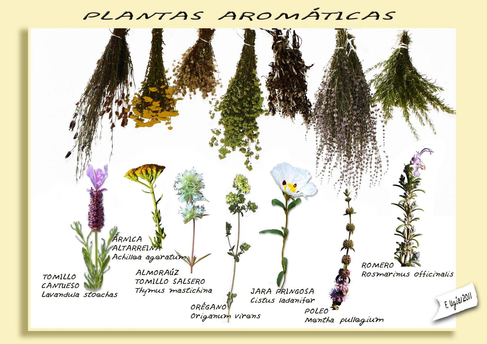 Informacin Sobre Plantas Aromticas Botanica  2016 Car Release Date