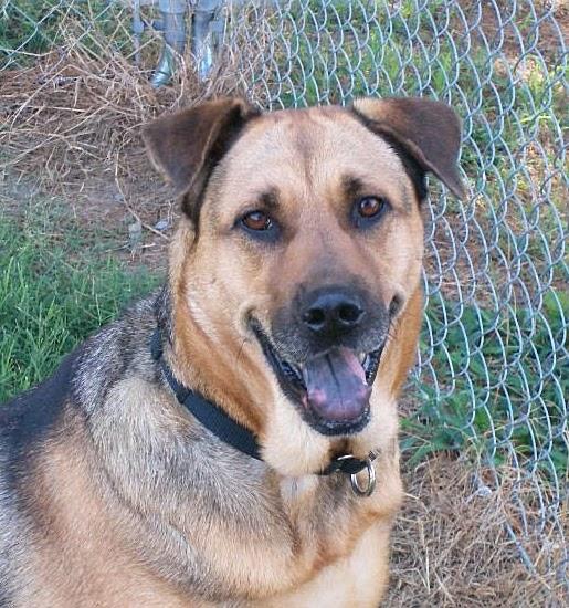 Big German Shepherds: German Shepherd Bloodhound Mix