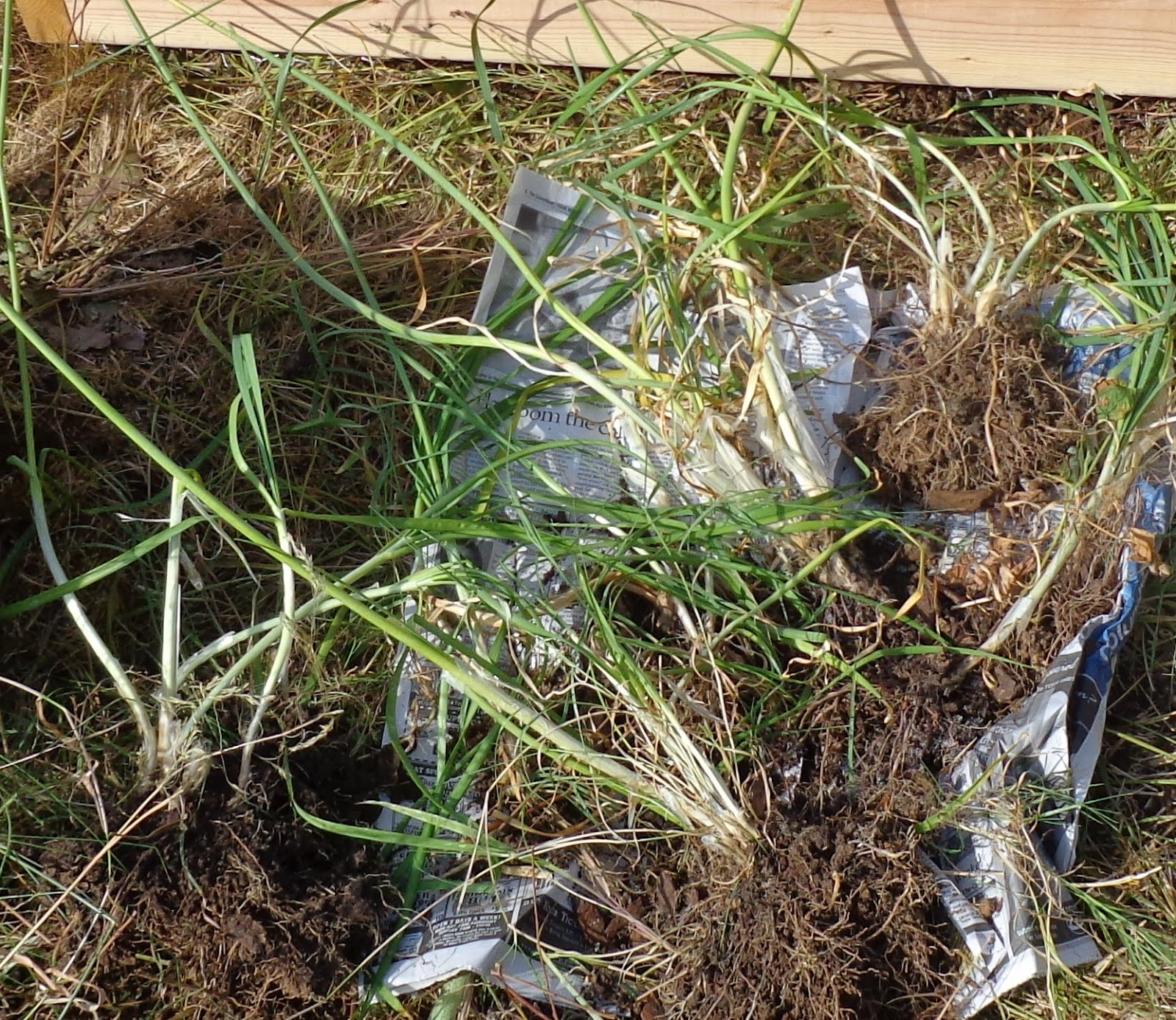 Garlic Chives Roots Growing greener in the pacific northwest: raised ...