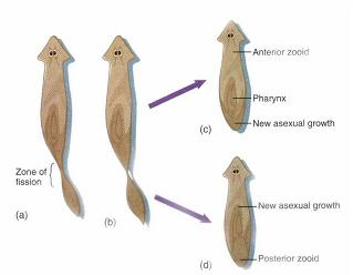 Turbellaria flatworms can reproduce asexually by pic 11