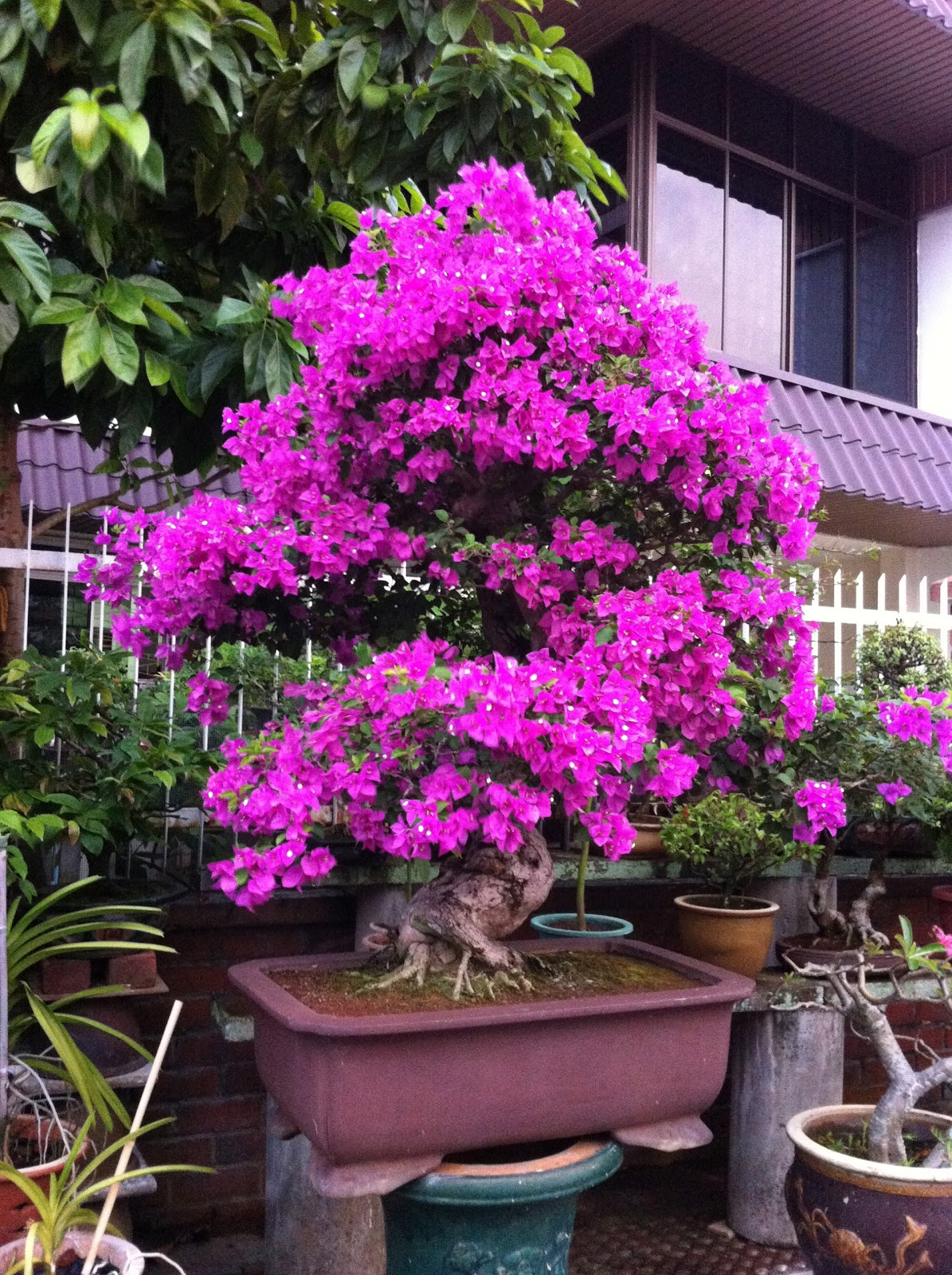 OhiPPo39s Backyard Bougainvillea Bonsai Sighting