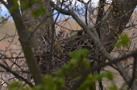 Red-shouldered hawk sitting on nest in old red oak