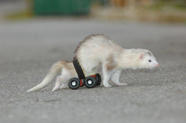 Ferret farm: A wheelchair for a ferret