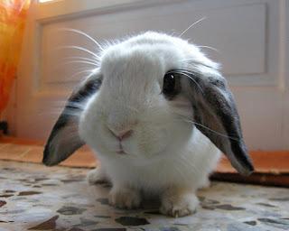 Funny+adorable+fluffy+bunny2.jpg