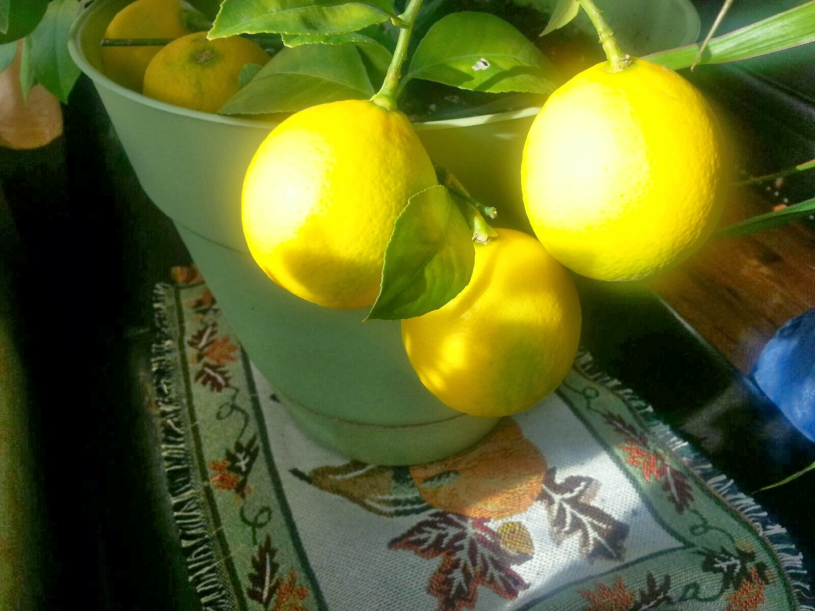 Meyer Lemon Plant