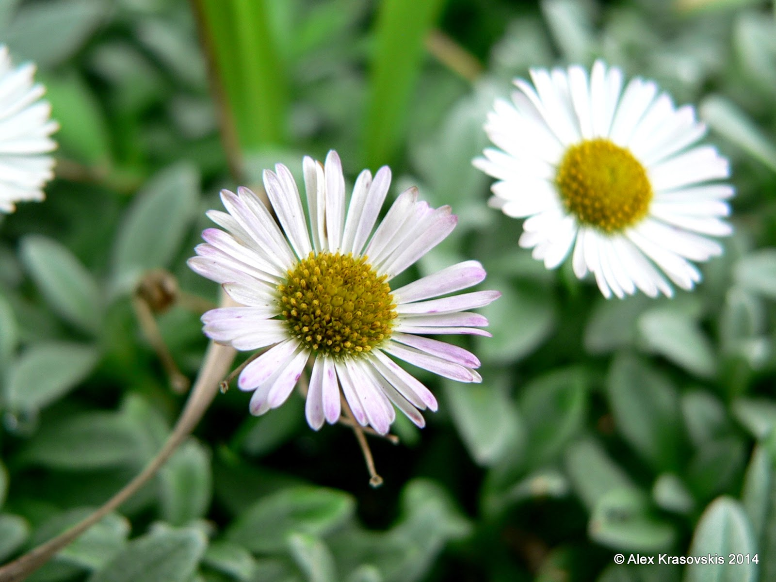 Aggregata plants gardens erigeron karvinskianus aka seaside daisy here they are having no trouble covering the soil under an established hakea tree in my garden in macedon keep in mind this picture was taken in winter and izmirmasajfo