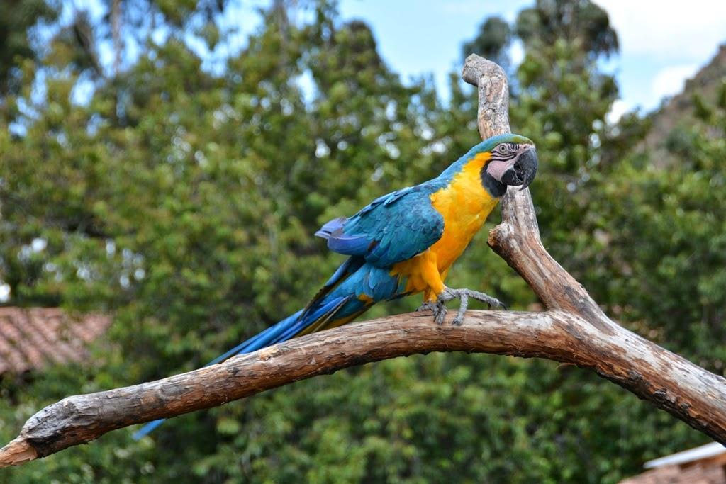 Tunupa Restaurant Ollantaytambo parrot
