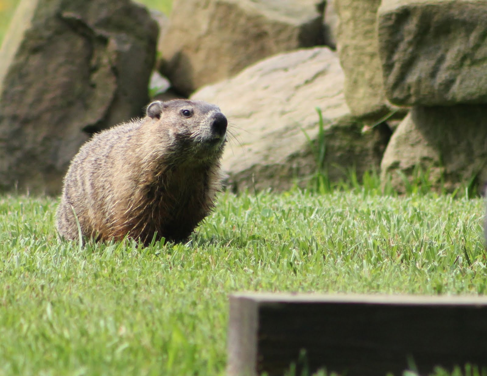 how to kill a groundhog in its hole