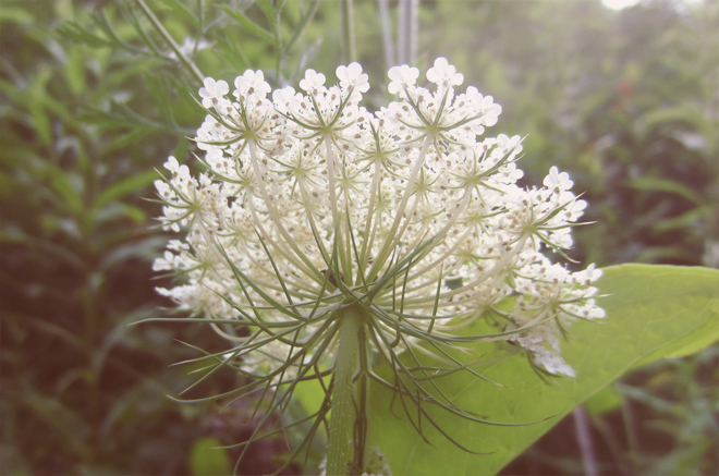 The Flying Clubhouse - queen anne's lace