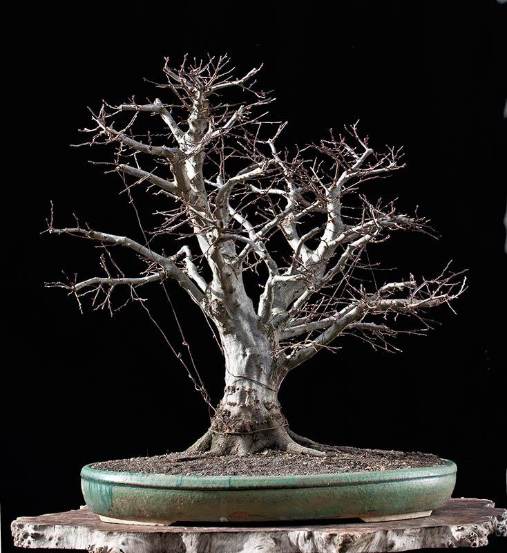 walter pall bonsai articles die naturalistische orientalische hainbuche german. Black Bedroom Furniture Sets. Home Design Ideas
