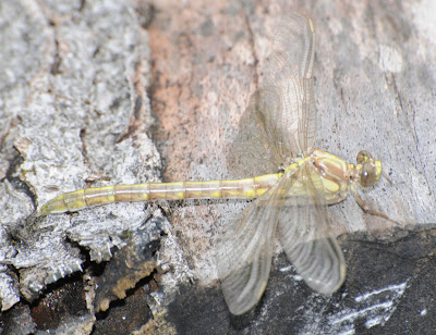 Black-Shouldered Spinyleg (Dromogomphus spinosus)