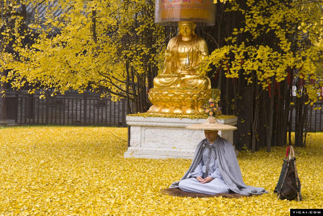 1400 Year Old Chinese Ginkgo Tree Drops an Ocean of Golden Leaves