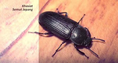 http://pusatobatherbal35.blogspot.com/2015/07/manfaat-dan-kegunaan-dari-semut-jepang.html