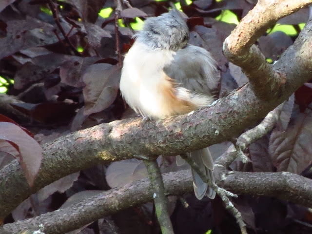 tufted titmouse attending to feathers