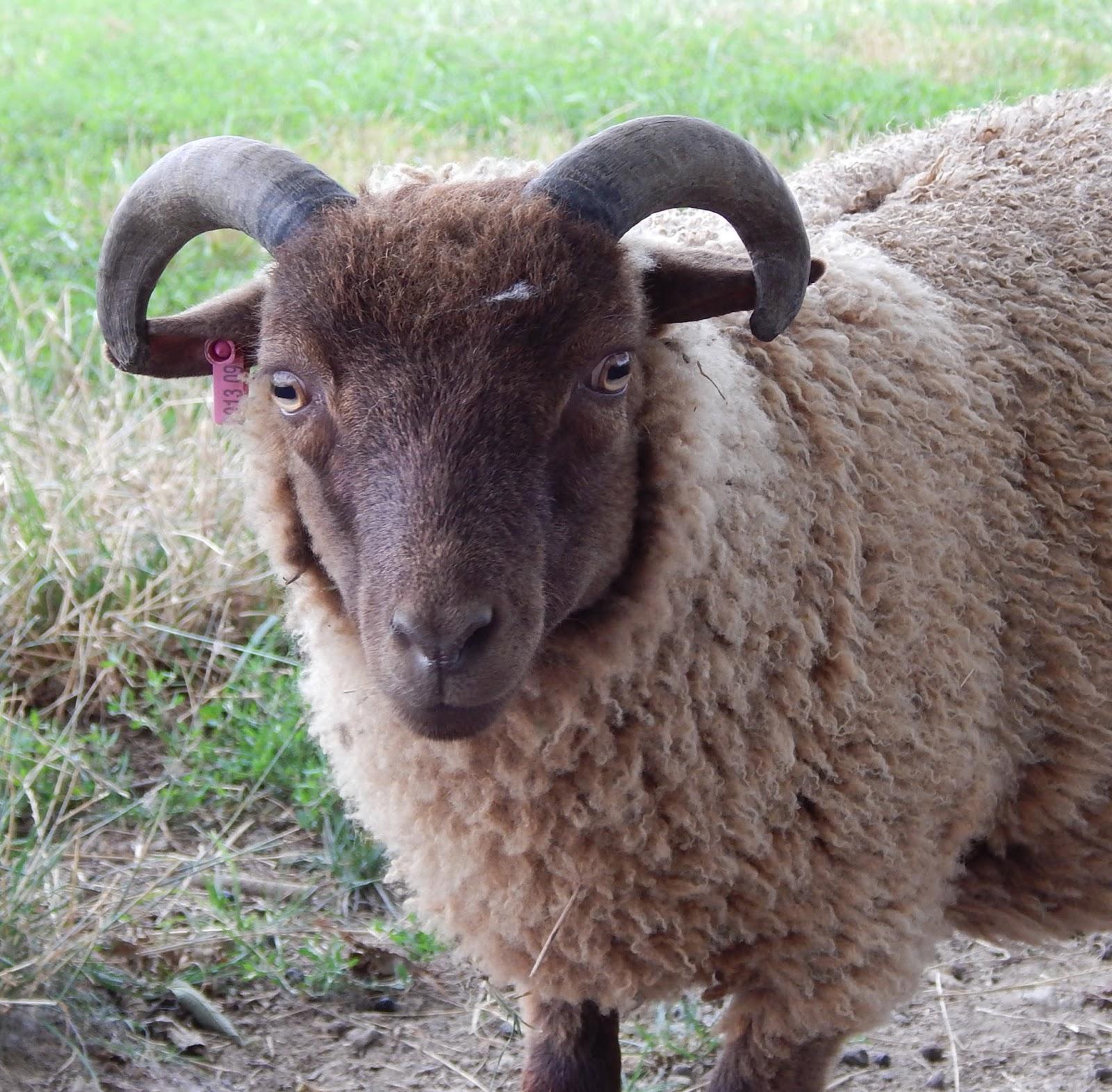 under the son farm a few ram lambs