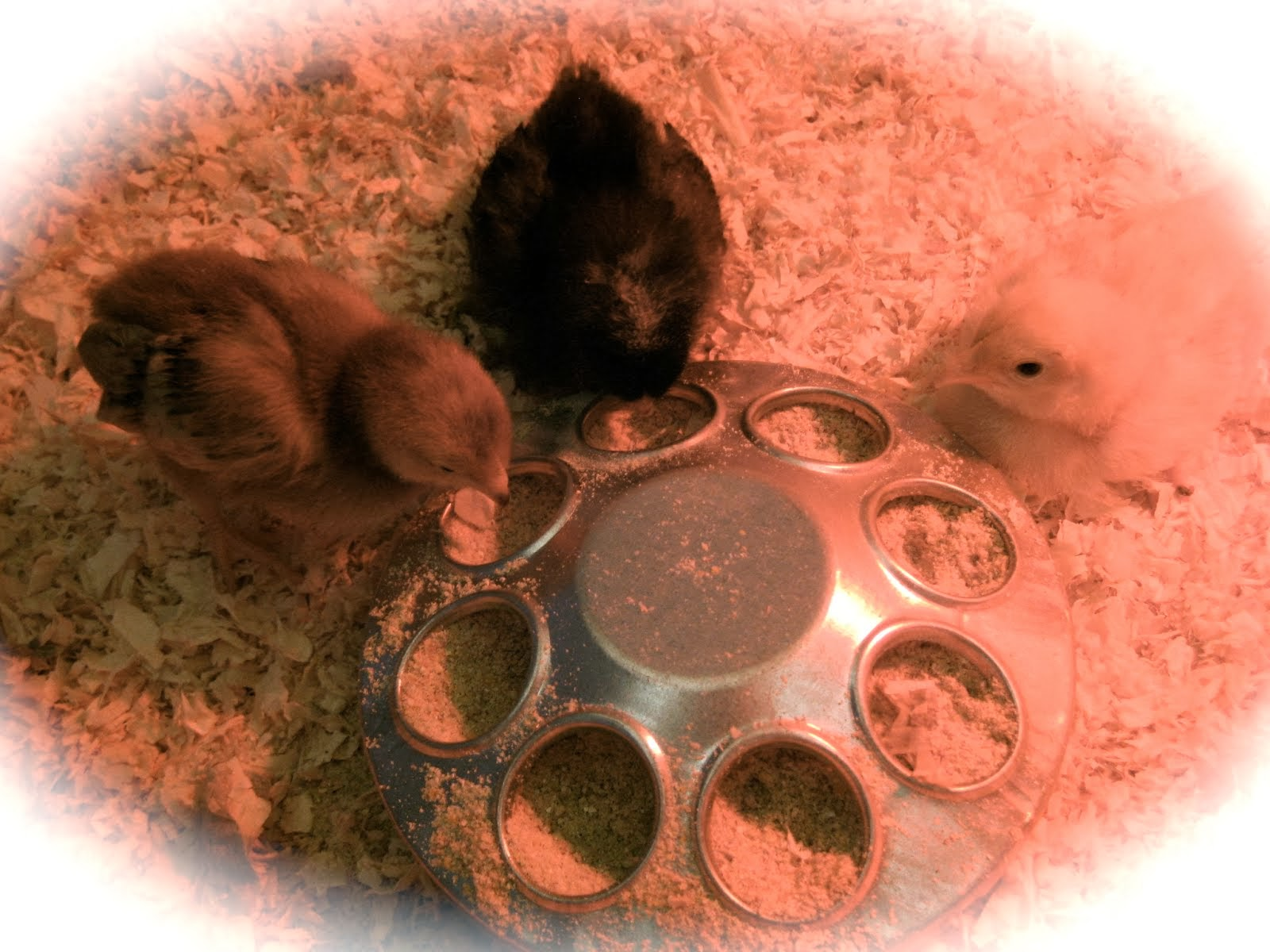 Our New Chicks!