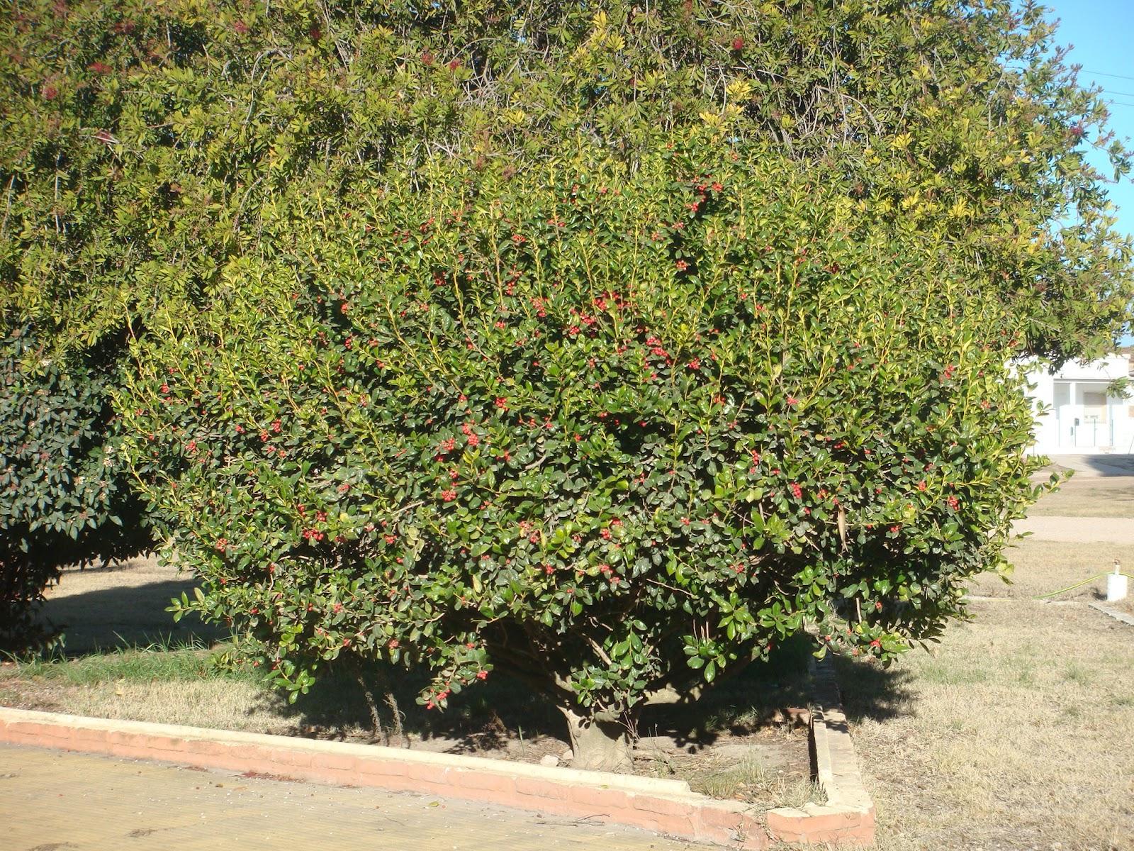 Plantas arbustivas for Viveros ornamentales definicion