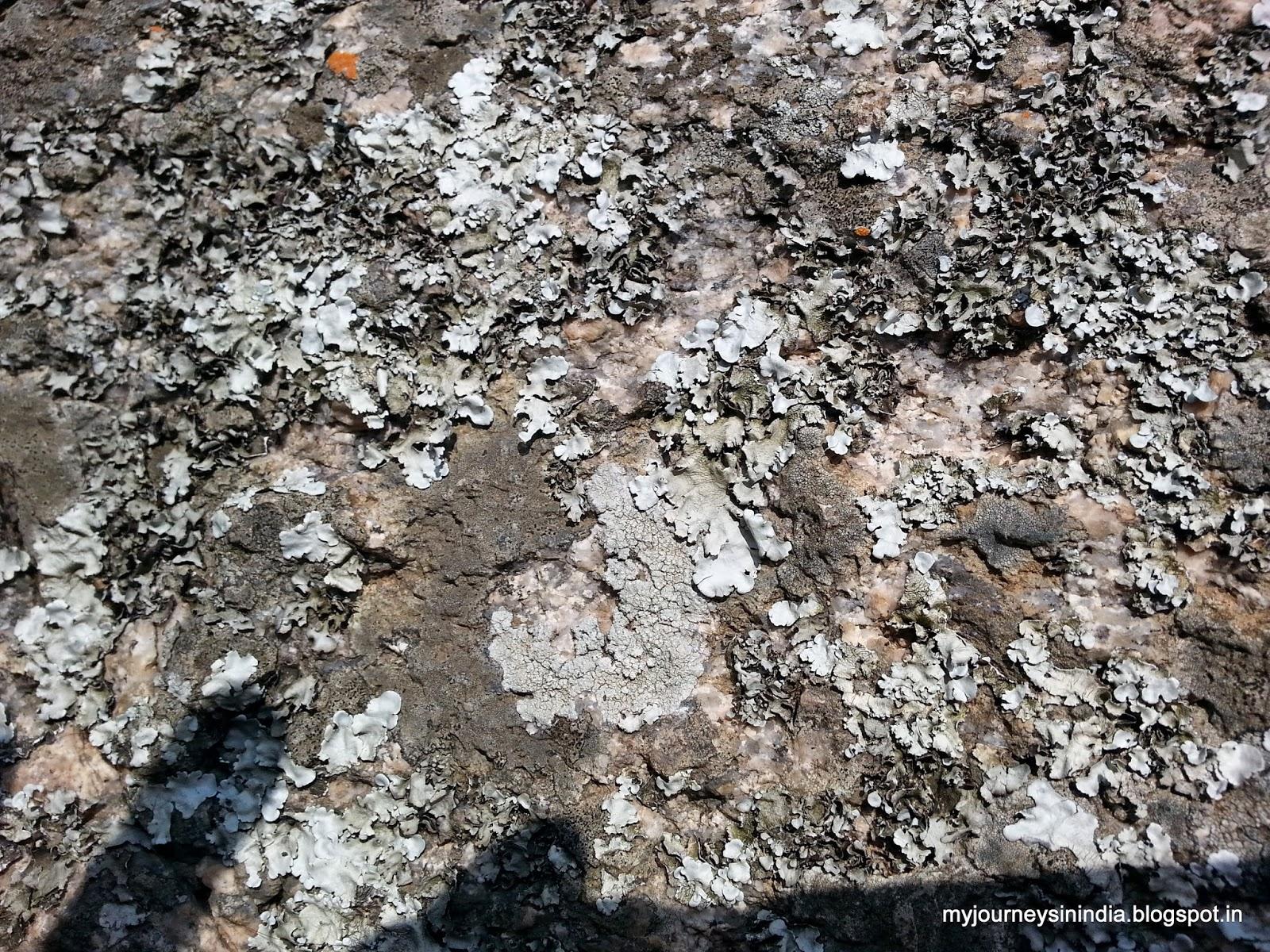 Lichens growing on rocks Devarayanadurga