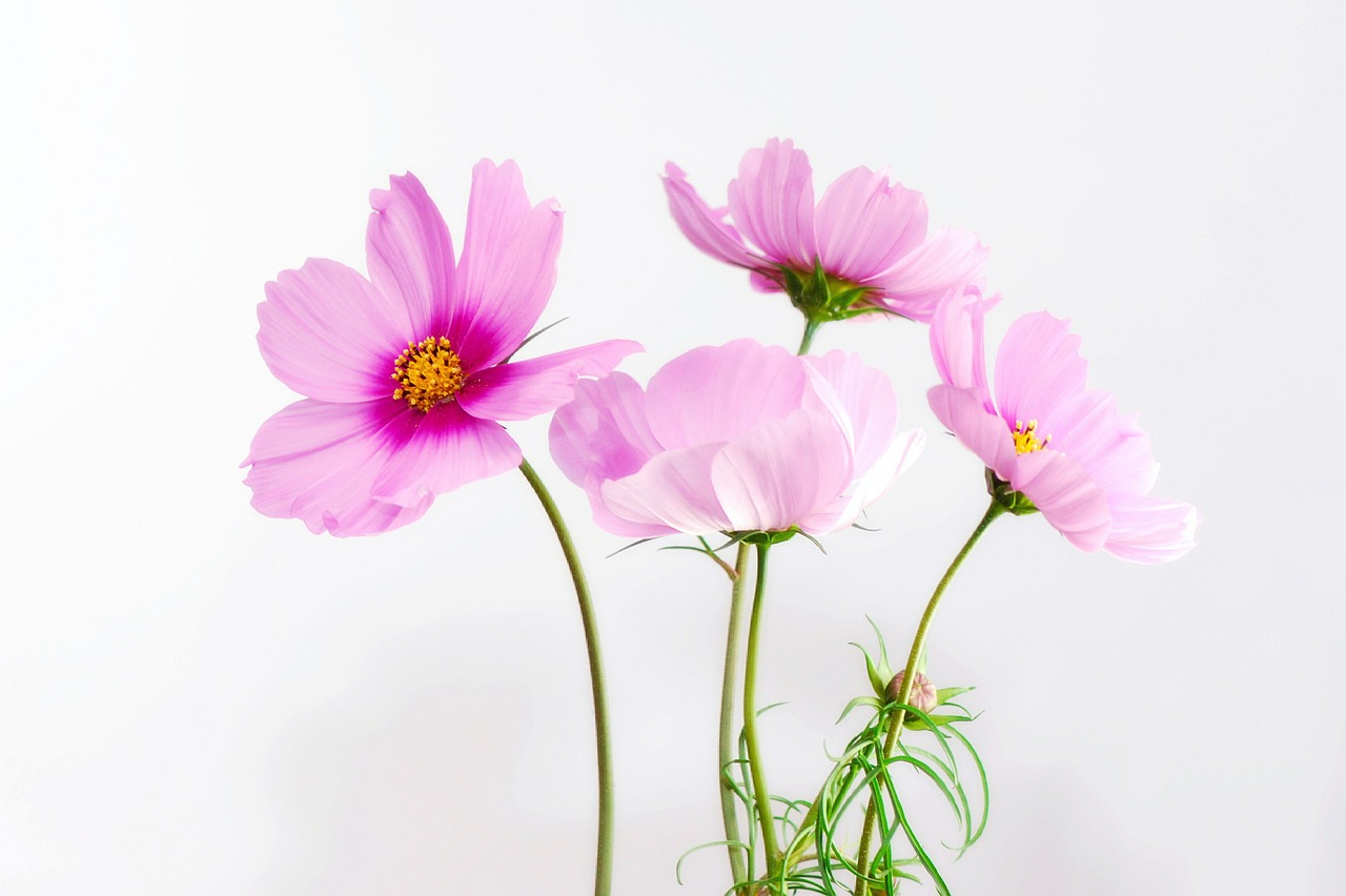 Cosmos Flower Photo Gallery