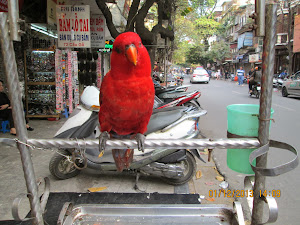 A frontal view of  this beautiful chained pet parrot of Hanoi.