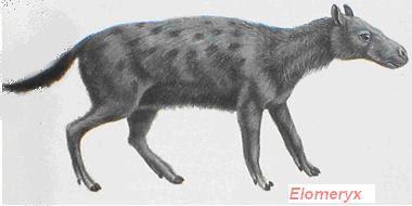 anthracotheriidae Elomeryx