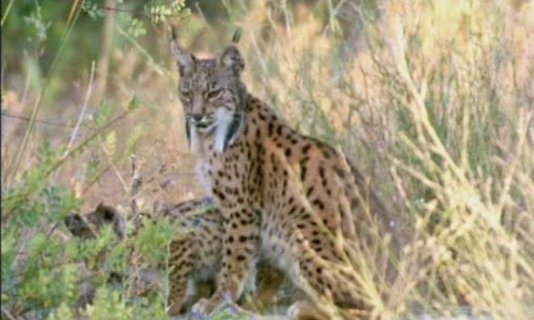 "Blog Safari Club, documental online ""El Lince ibérico, el cazador solitario"""