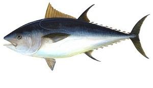 Luar Biasa! Ternyata Ikan Tuna Mempunyai 10 Manfaat Untuk Kesehatan Tubuh