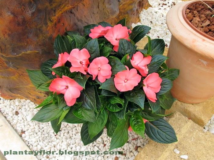 Plantas y flores impatiens walleriana - Alegria planta cuidados ...