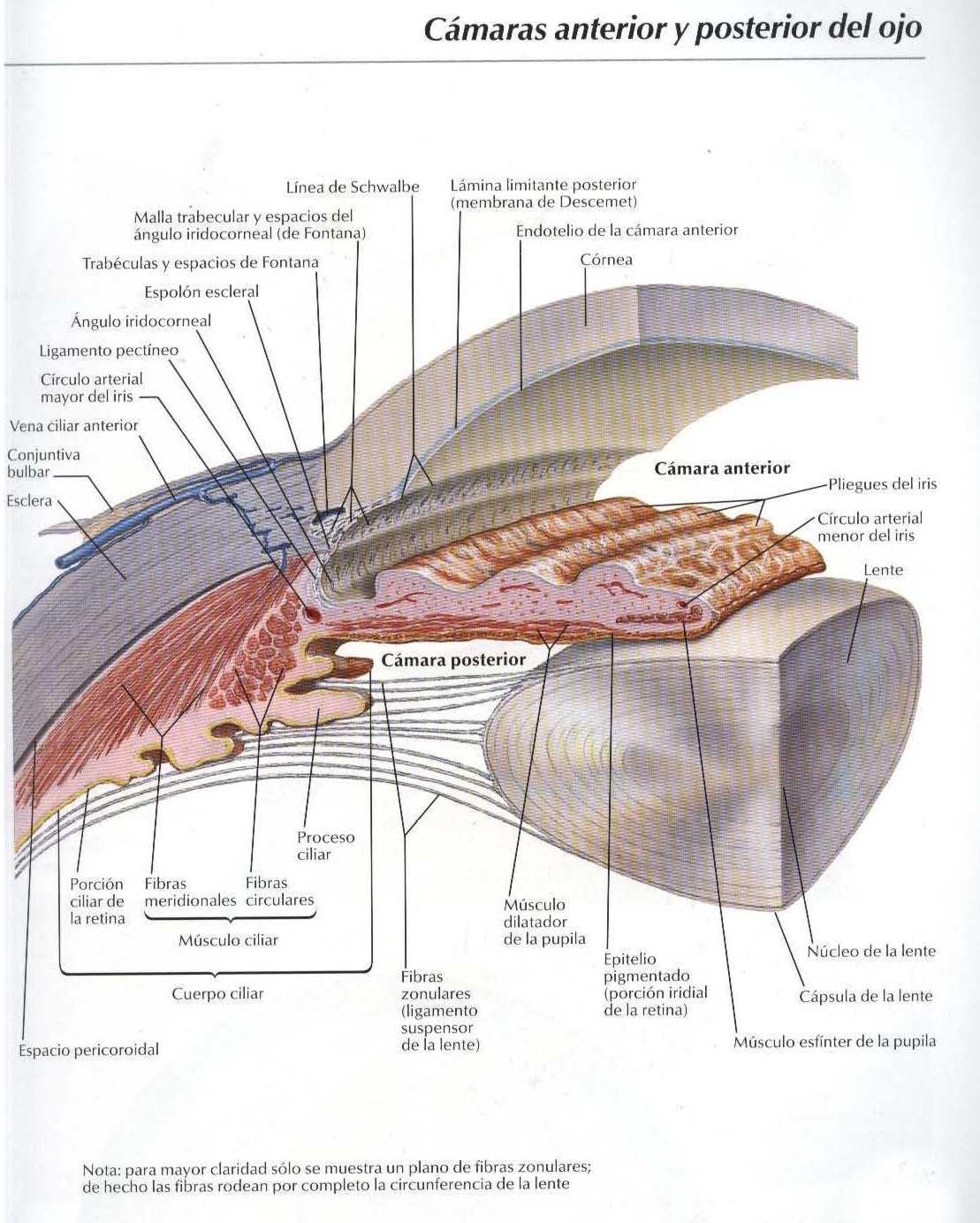 Cámara anterior y posterior del ojo humano - Salud, vida sana, la ...