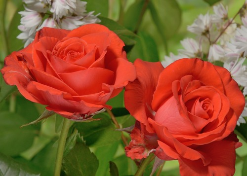 Alexander rose сорт розы фото