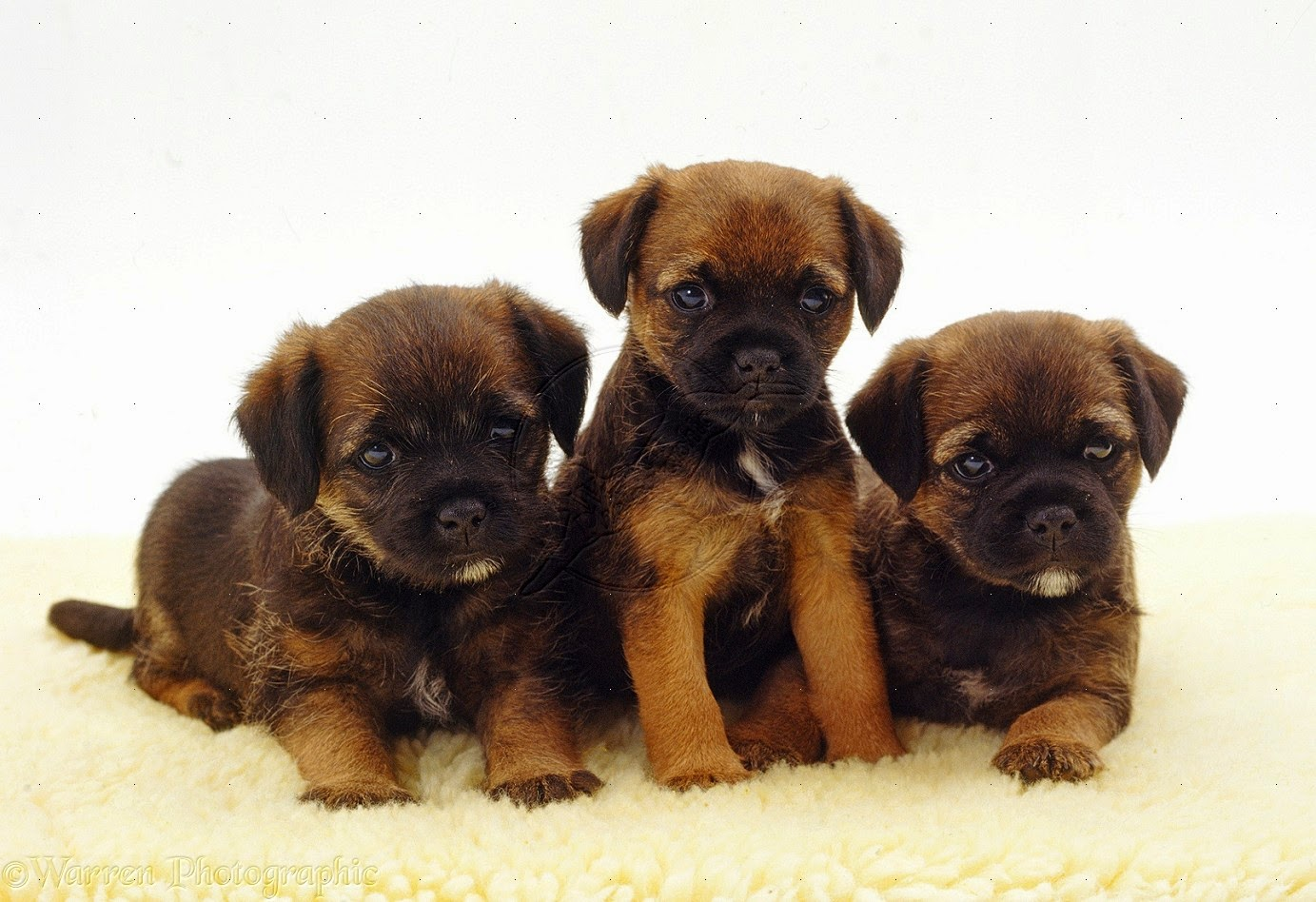 Rules of the Jungle: Border Terrier Puppies | Border Terrier Puppies For Sale Florida