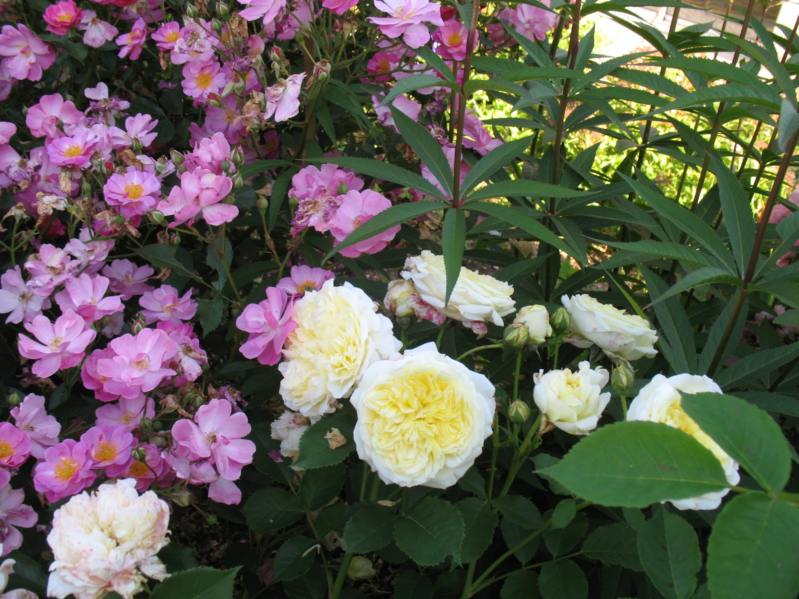 Roses du jardin ch neland rosier the alnwick rose for Decoration jardin rosier