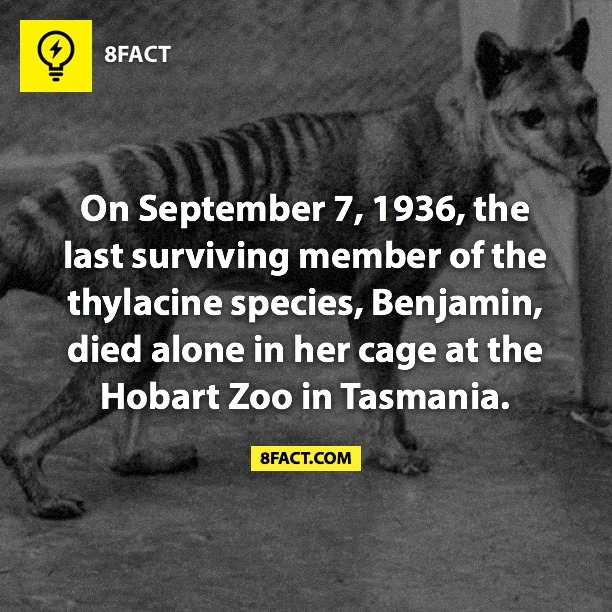 On September 7 , 1936 , the last surviving member of the thylacine species , Benjamin , died alone in her cage at the Hobart Zoo in Tasmania.