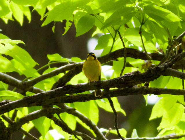 Kentucky Warbler - Doodletown, New York