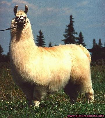 funny llama photos funny animal