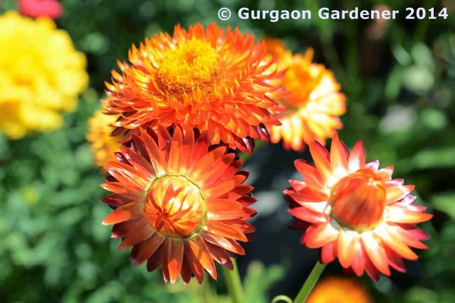 Gurgaon Gardener Red Flower Plants For Your Garden