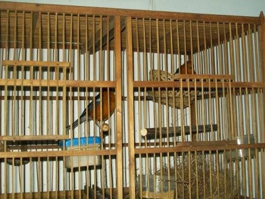 Tips dan Trik Beternak Burung Anis Merah yang Sukses