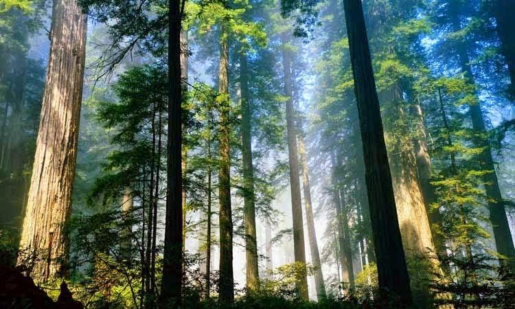 Pohon ini adalah pohon paling tinggi dan paling tua di dunia