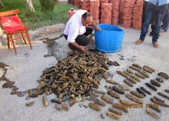 تغريم صياد مليون و200 ألف دولار فى الغردقة لصيده «خيار البحر»